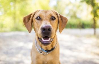 Labrador dog smiling