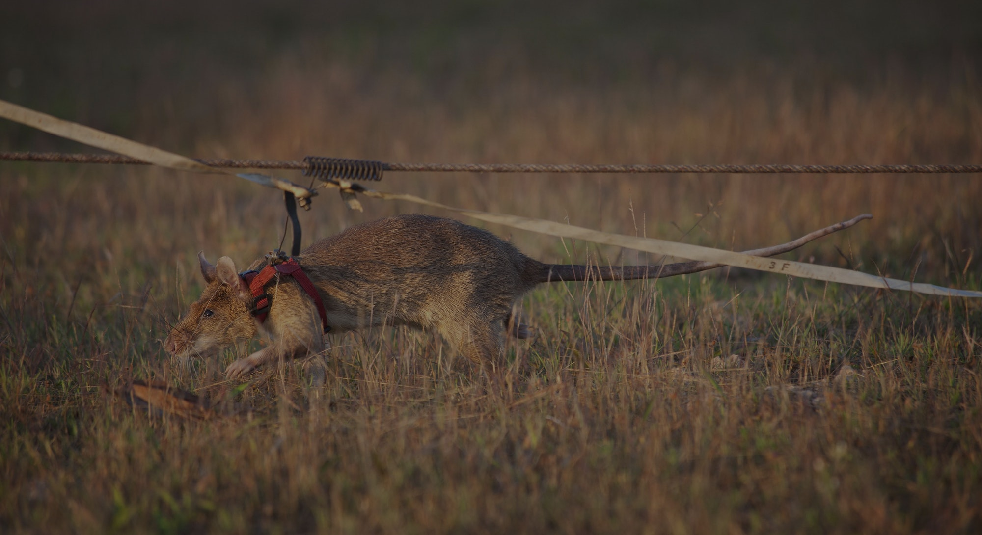 Magawa, a large rat with light brown fur, wears a harness as he sniffs his way through a field of dr...