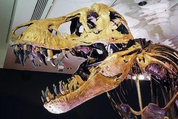 T. rex skeleton