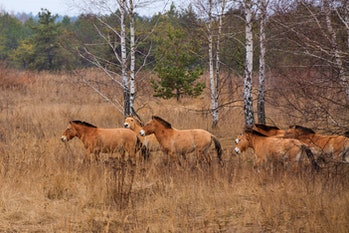 Przewalski's horse in Chernobyl after nuclear reactor accident