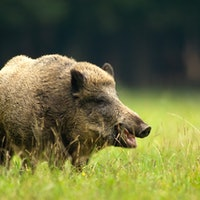 Fukushima's boar-pig hybrids reveal how nature can heal after humans