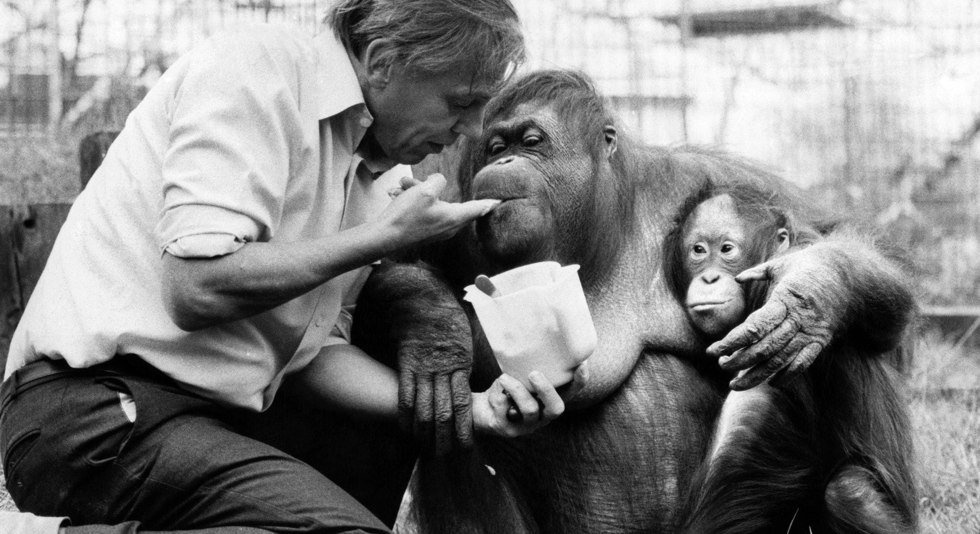 David Attenborough with orang utan and her baby at London Zoo