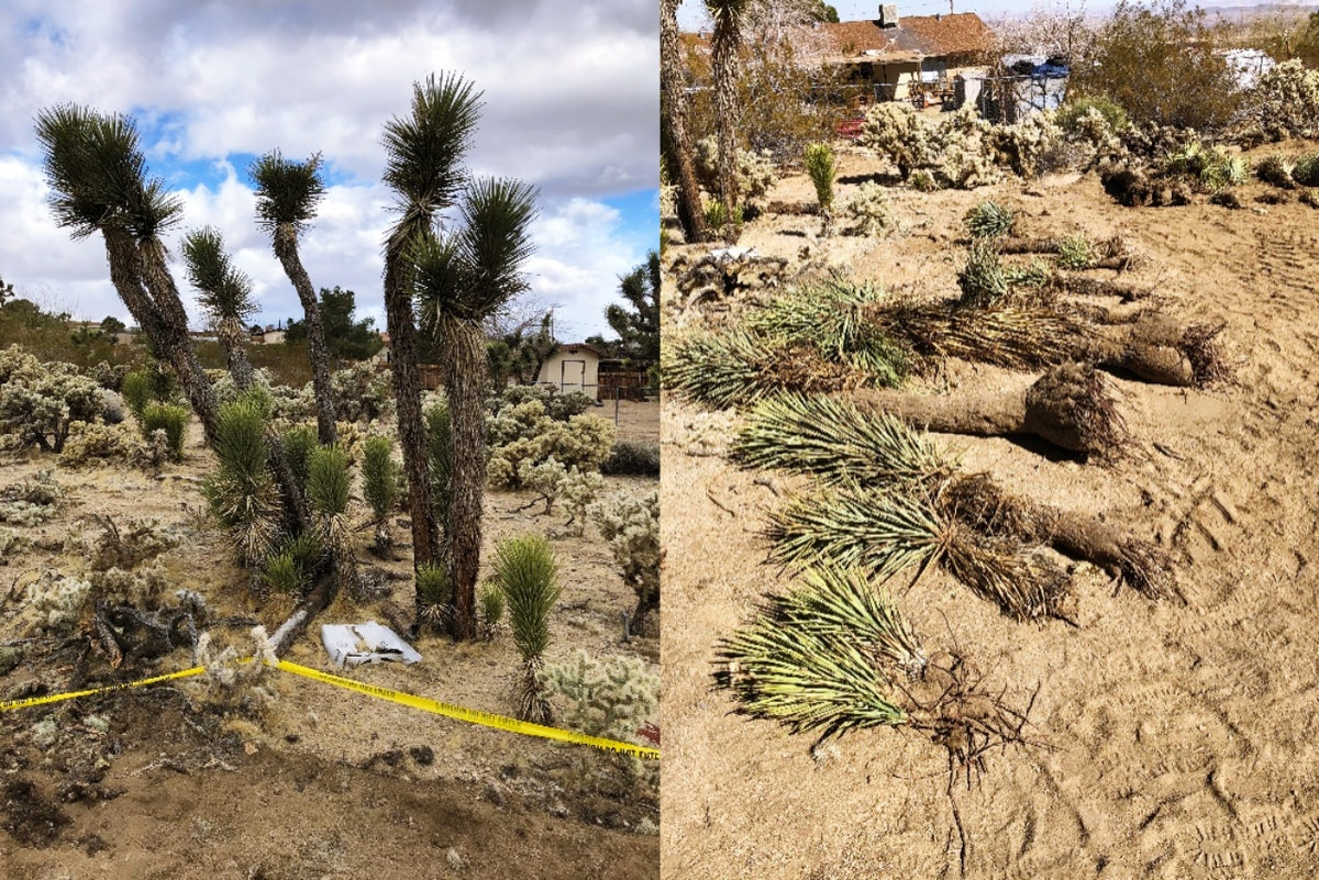 A diptych of Joshua trees in a desert (L) and Joshua trees removed and lying on the ground (R).