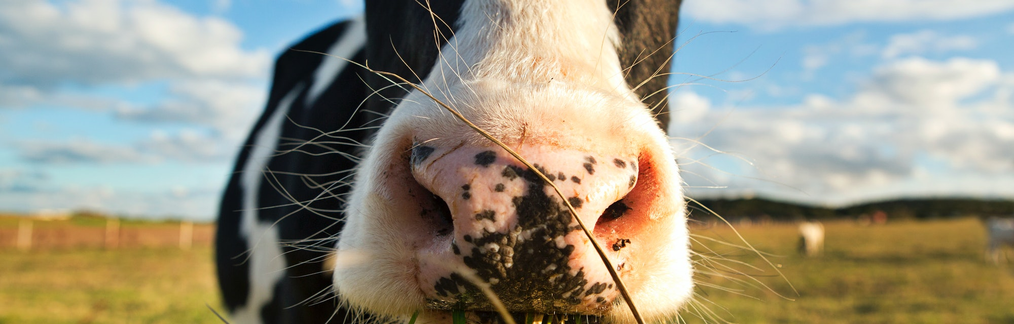 Cow closeup chewing grass and feed