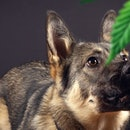 As recreational cannabis use increases, so has the number of calls regarding dogs who have accidenta...