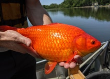 A large goldfish pulled from a lake in Burnsville, Minnesota