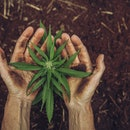 hands holding small cannabis plant