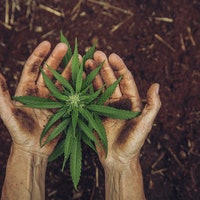 """Hemp plants can suck PFAS, aka """"forever chemicals,"""" out of the ground"""