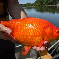 Fact-checking the Minnesota goldfish mystery: Scientists explain
