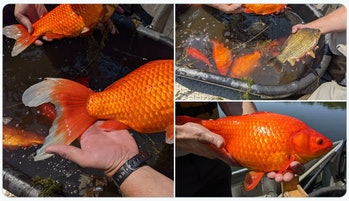 Unable or unwilling to care for their pets any longer, goldfish owners in Minnesota have been releas...