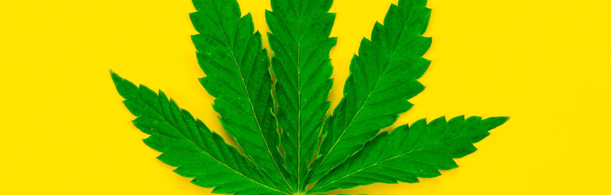Marijuana leaf on yellow background