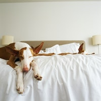 Is it OK to let your dog sleep in your bed? The science is complicated