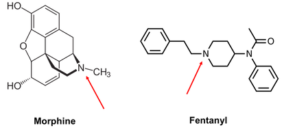 Morphine and fentanyl have different chemical structures but share a nitrogen group that undergo a ...