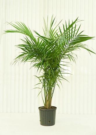 Cleo Majesty Palm