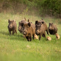 Feral hogs study reveals an unexpected consequence of invasive species
