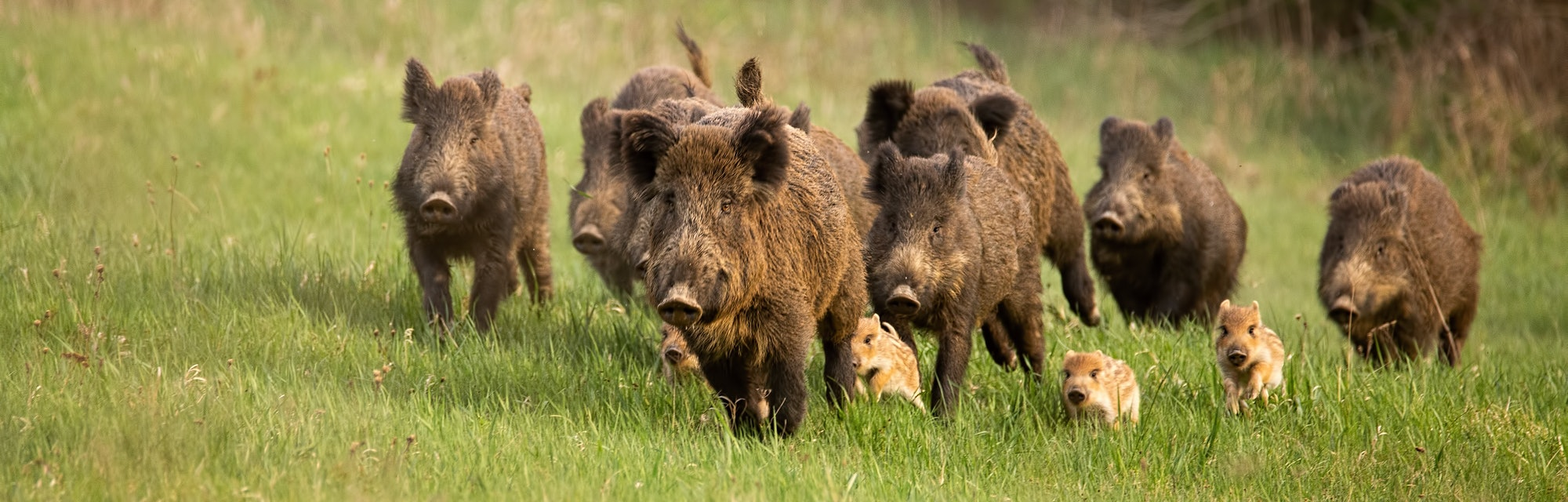 Willd hogs running in a group