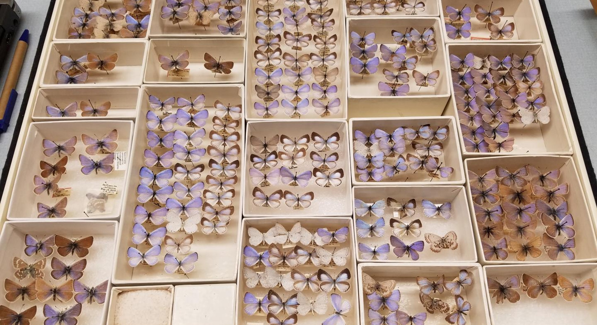 A collections drawer of extinct Xerces blue butterflies