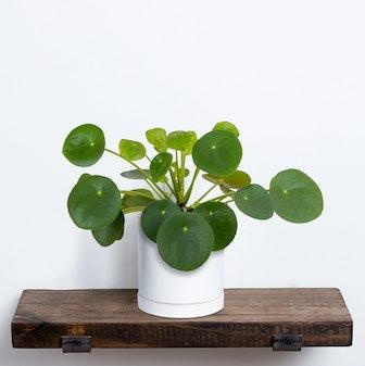 """Pilea Plant in 5"""" Pot"""
