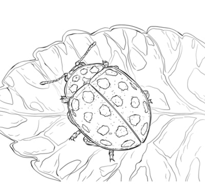detailed ladybug coloring page