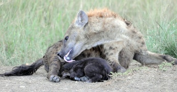baby hyena