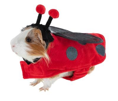 Guinea pig dressed up in ladybug Halloween costume