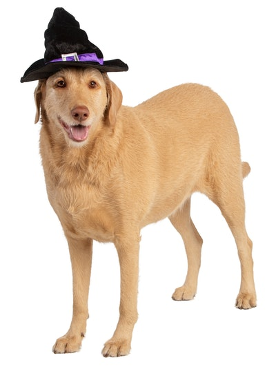 Large dog in witch hat for Halloween