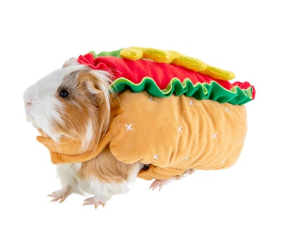 Guinea pig  in hot dog costume for Halloween