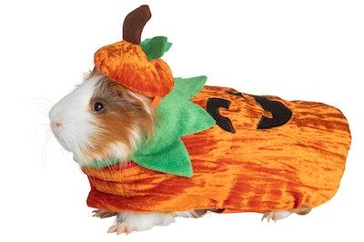 Guinea pig  in small pet jack-o-lantern costume
