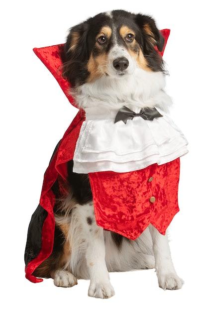 Dog dressed up in vampire costume