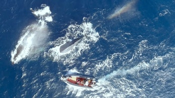 Boat in sea amid blue whales