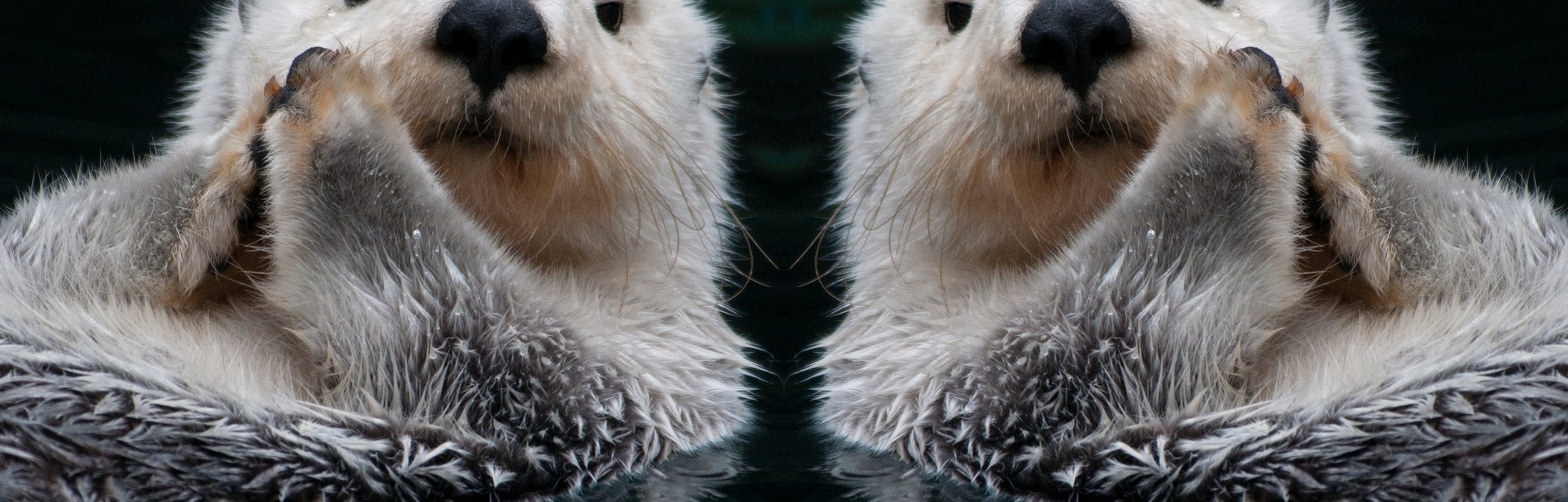 Sea ottter mirror image