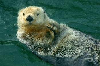 Sea otter swimming in water