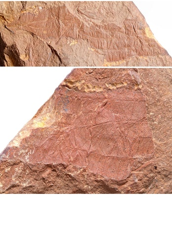 Insect fossil wing