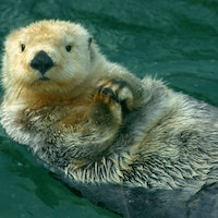 Sea otters should die in freezing water — new discovery reveals why they don't