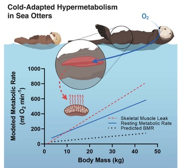 Graphic about sea otter metabolism in cold