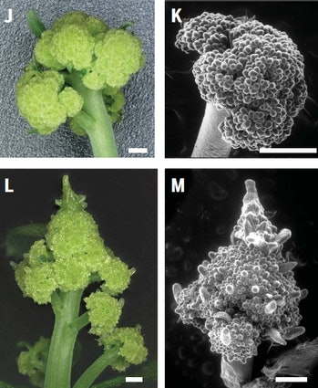 romanesco fractal plant model 3D