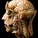 wax model of brain
