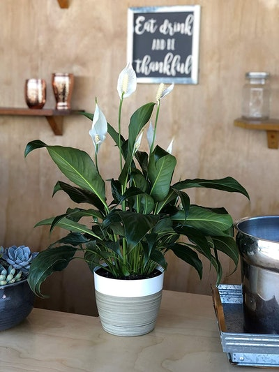 Costa Farms Spathiphyllum Peace Lily (15-Inch)