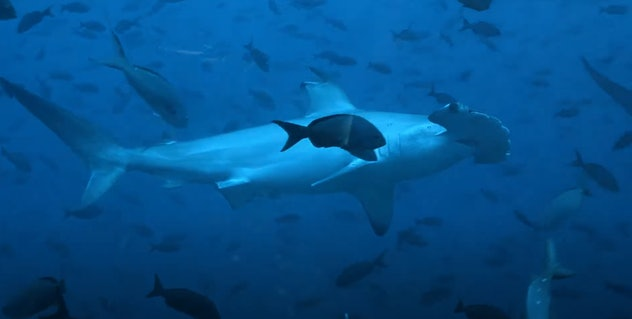 'Galapagos: Realm of Giant Sharks' is streaming on Amazon Prime Video.