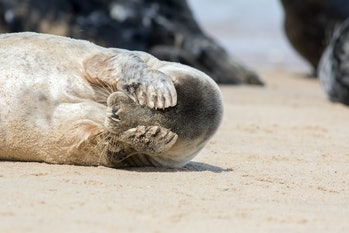 Peekaboo. Cute seal covering its eyes. Funny animal meme image of a seal waking up with a headache t...