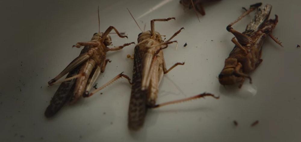 Dead locusts in tray