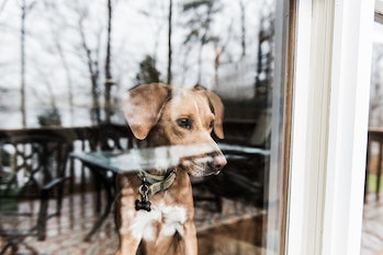 Dog looking through window and waiting for owner
