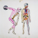 Human body, muscles during movement and internal organs