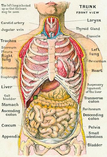 Vintage anatomical study of the human torso
