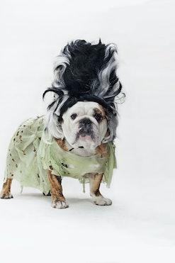 english bulldog dog dressed in a bride of frankenstein halloween costume