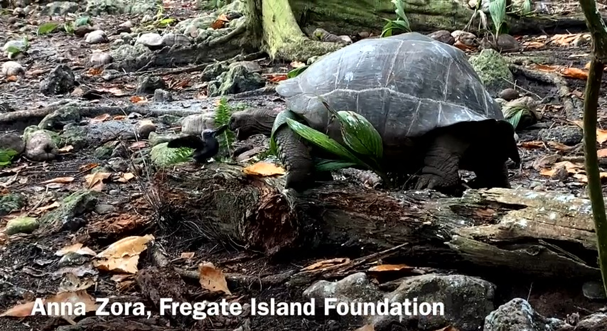 screenshot from video of tortoise hunting and eating tern chick