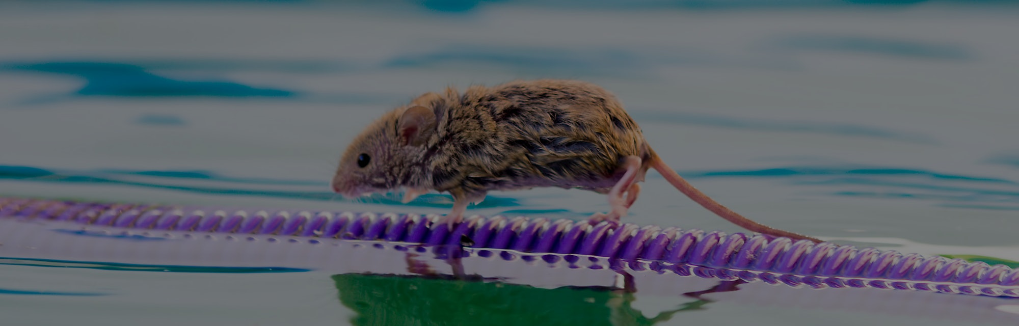 wet and frightened mouse