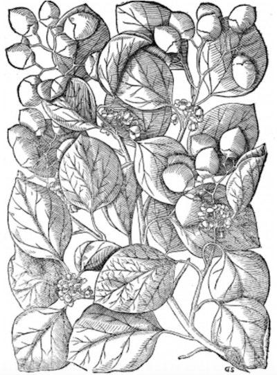 Illustration of botanical plant