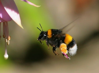 Bumblebee pollinating a flower