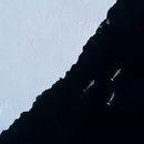 Belug whales seen from above using aerial footage